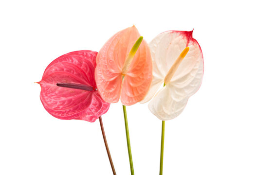 anthurium flower isolated