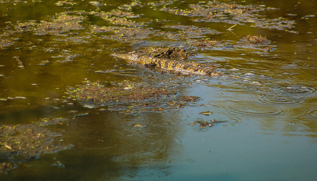 A high angle shot of an aligator swimming in a lake
