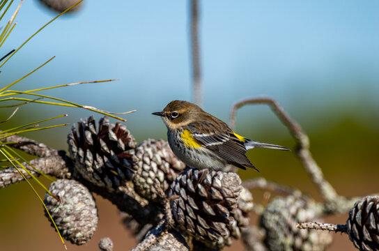 Yellow-rumped warbler on Pine Cone looking Left