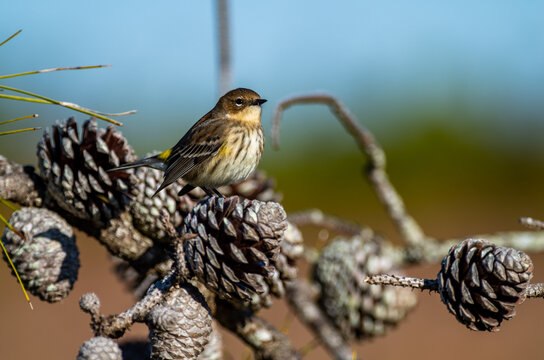 Yellow-rumped warbler on Pine Cone looking right