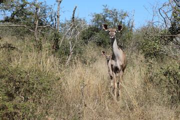 Printed kitchen splashbacks Antelope Großer Kudu / Greater Kudu / Tragelaphus strepsiceros..
