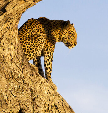 An African leopard sitting on top of an old tree and carefully looking at its prey
