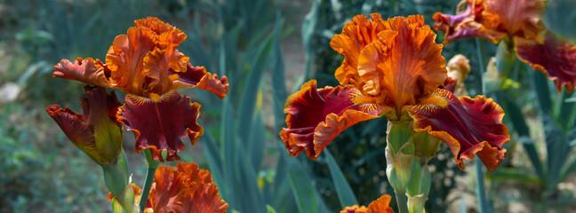 Beautiful orange iris flowers grow in the garden.
