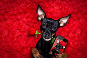 happy valentines dog in bed