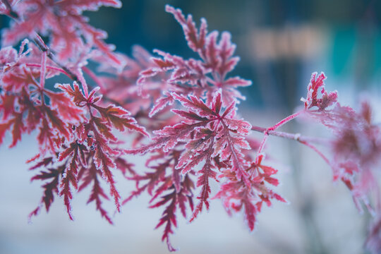 Frozen Acer palmatum dissectum red leaves with ice crystals on a blurry blue background