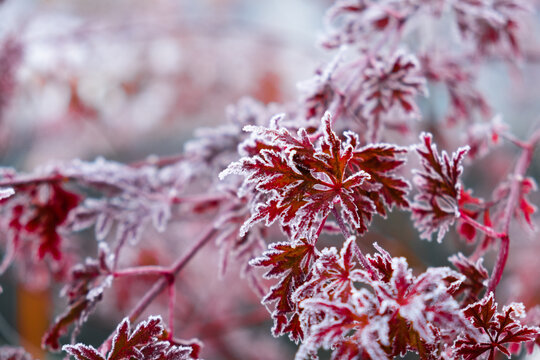 Frozen Acer palmatum dissectum red leaves with ice crystals