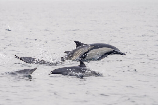 Common Dolphins Bubbling and Breaching the Surface