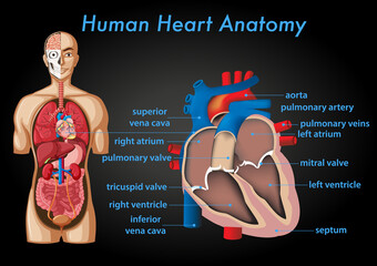 Information poster of human heart anatomy