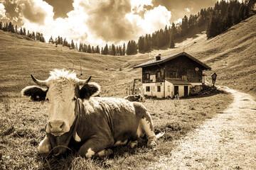 Wall Mural - cow at the european alps