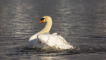 Mute swan cleaning its feathers