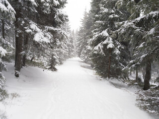 Heavy snowstorm in the fir forest.