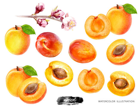 Apricot big set watercolor illustration isolated on white background