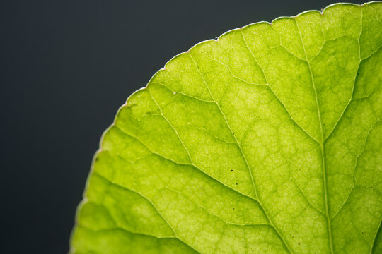 close up Gotu kola (Centella asiatica) leaves  isolated on black background