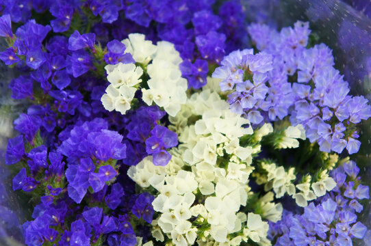 Limonium platyphyllum sea lavender violet and white flowers