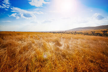 Dry panorama of Maasai Mara park and natural landscape in Kenya