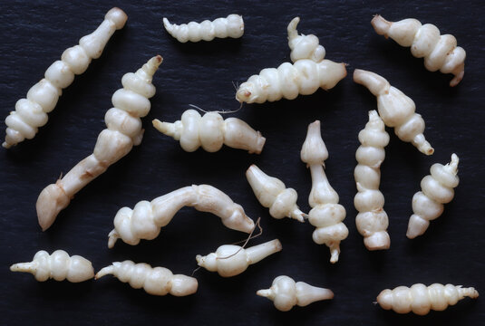 Photograph of many crosnes isolated on slate for food background