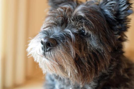 Versonnen blickender alter Cairn-Terrier