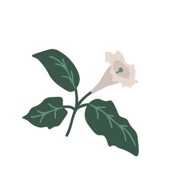 Isolated datura flower