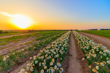 Printed kitchen splashbacks Narcissus A field with rows of daffodils for sale, the Israeli winter at sunset