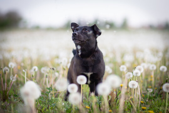 small black dog in a field of dandalion