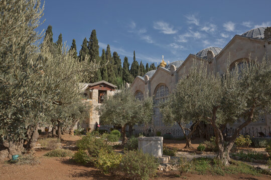 Old olive trees in the garden of Gethsemane next to the Church of All Nations. Famous historic place in Jerusalem, Israel