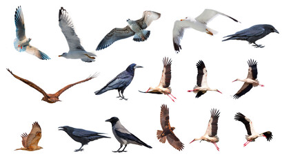 Various bird species isolated white background - Stork, Crow, Hawk, Seagull
