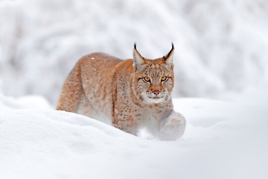 Lynx, winter wildlife. Cute big cat in habitat, cold condition. Snowy forest with beautiful animal wild lynx, Poland. Eurasian Lynx nature running, wild cat in the forest with snow.