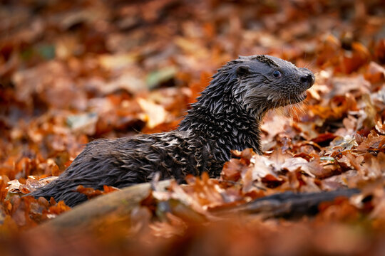Otter, autumn orange wildlife. Eurasian otter, Lutra lutra, detail portrait of water animal in the nature habitat, Germany, water predator. Animal from the river, wildlife from Europe.