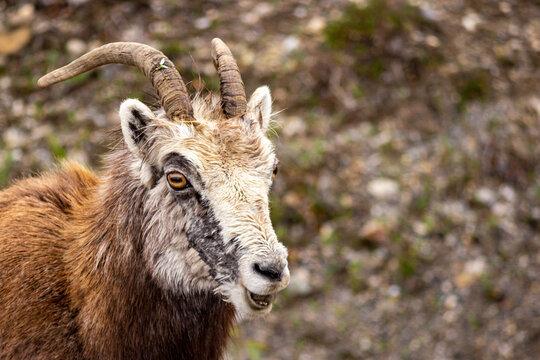 Mountain Goat on the Alaska Highway
