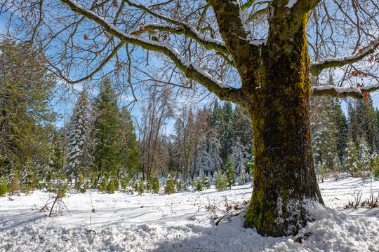 Winter landscape of a large moss covered tree with snowy trees in the background
