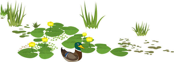 Cartoon male mallard (Anas platyrhynchos) in bright nuptial plumage and yellow water-lily plants with green leaves and yellow flowers isolated on white background Wall mural