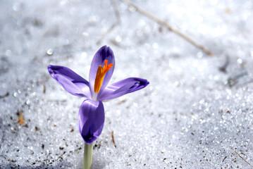 Krokus na śniegu w Dolinie Chochołowskiej