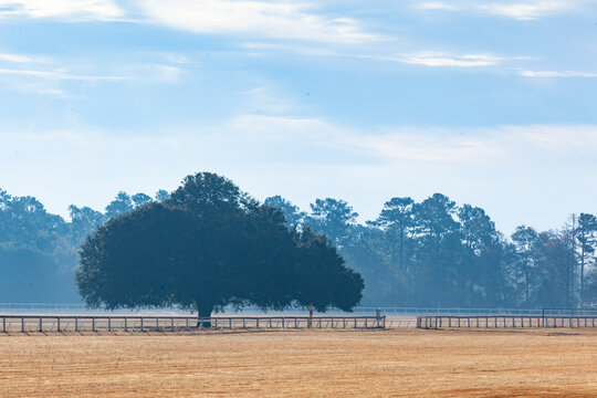 Aiken Training Track Oak Tree on a hazy morning.