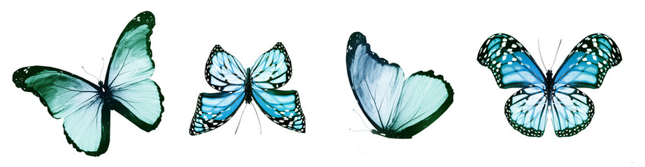 Fototapeta Color natural and watercolor butterflies , isolated on white background obraz