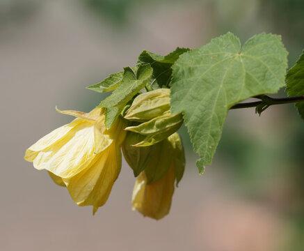 (Abutilon x hybridum) Abutilon hybride ou érable d'appartement à fleur jaune lumineuse pendante en lanterne