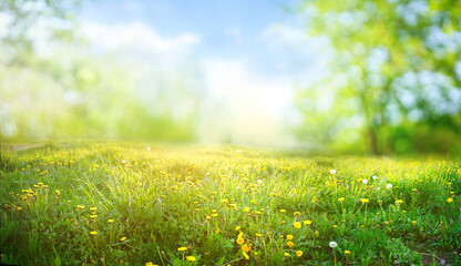 Obraz Beautiful meadow field with fresh grass and yellow dandelion flowers in nature against a blurry blue sky with clouds. Summer spring perfect natural landscape. - fototapety do salonu