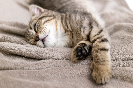 Portrait of a cute little kitten lying in soft blanket on the bed  at home