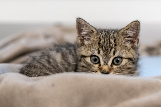 Portrait of a cute little kitten sitting in soft blanket on the bed  at home