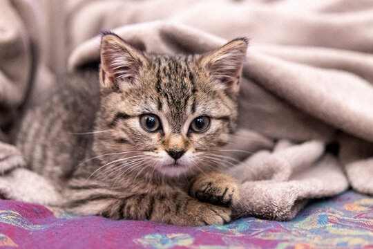 Portrait of a cute little kitten lying in soft blanket on the sofa  at home