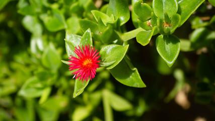 Obraz czerwony kwiat - fototapety do salonu