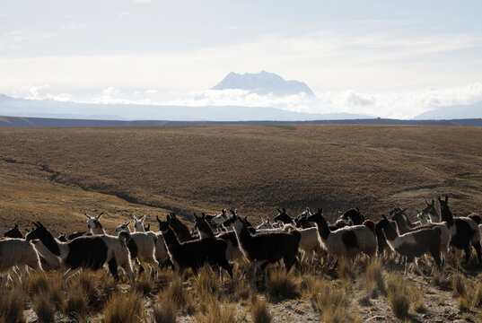 Llamas are seen with the Illimani mountain in the background, near El Alto outskirts of La Paz