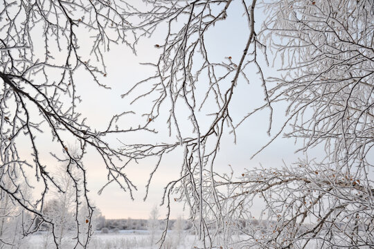 Beautiful pattern of snow-covered birch branches. Winter background
