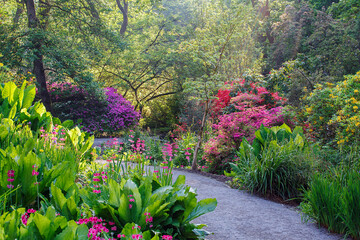 Beautiful Pink Azaleas and Rhododendrons in a woodland scene. Azaleas are flowering shrubs in the genus Rhododendron.