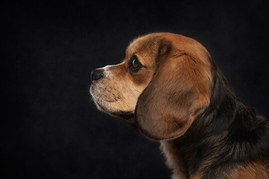 Tricoloured Beaglier dog in profile headshot with a black background.