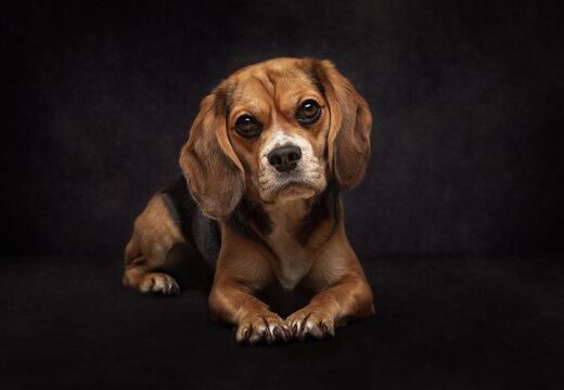 Tricoloured Beaglier Dog lying down against a black background.
