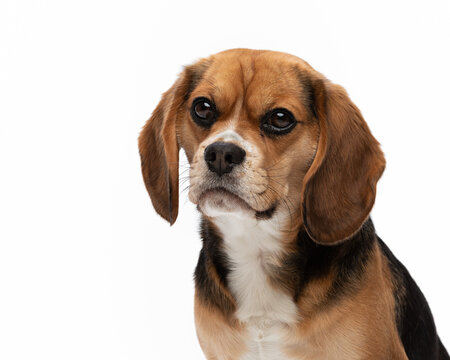 Frontal head shot of a Beaglier dog isolated against a white background.
