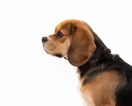 Profile headshot of a Beaglier dog isolated against a white background.