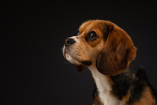 Headshot of a tricoloured Beaglier dog with a black background.