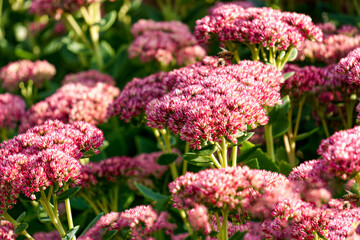 Obraz A flower bed of pink perennial flowers of stonecrop. - fototapety do salonu