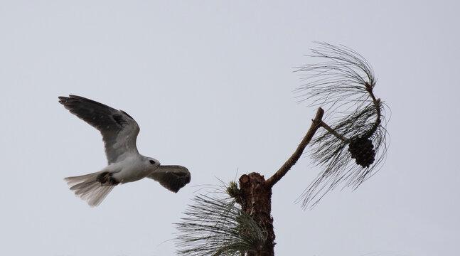 White Tailed Kite Flying To Pine Tree